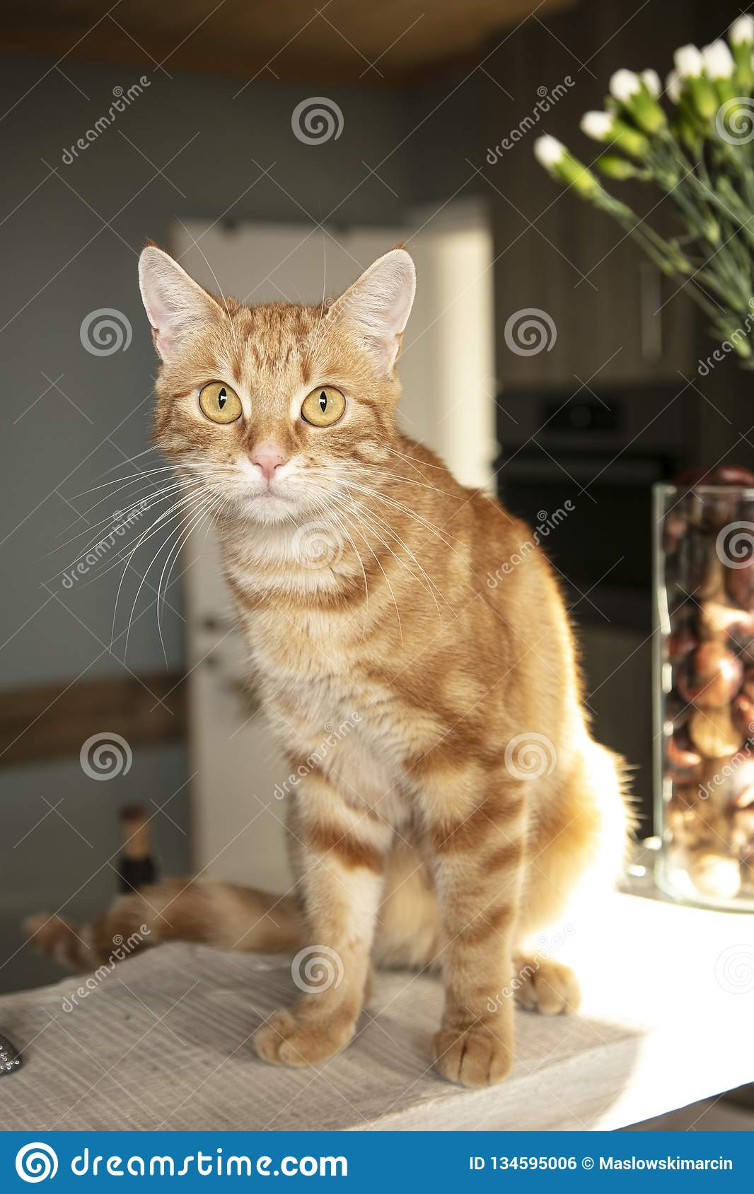 Red Fur The Cat Is Sitting On The Kitchen Counter Stock Photo Image Of Friendship Chair 134595006