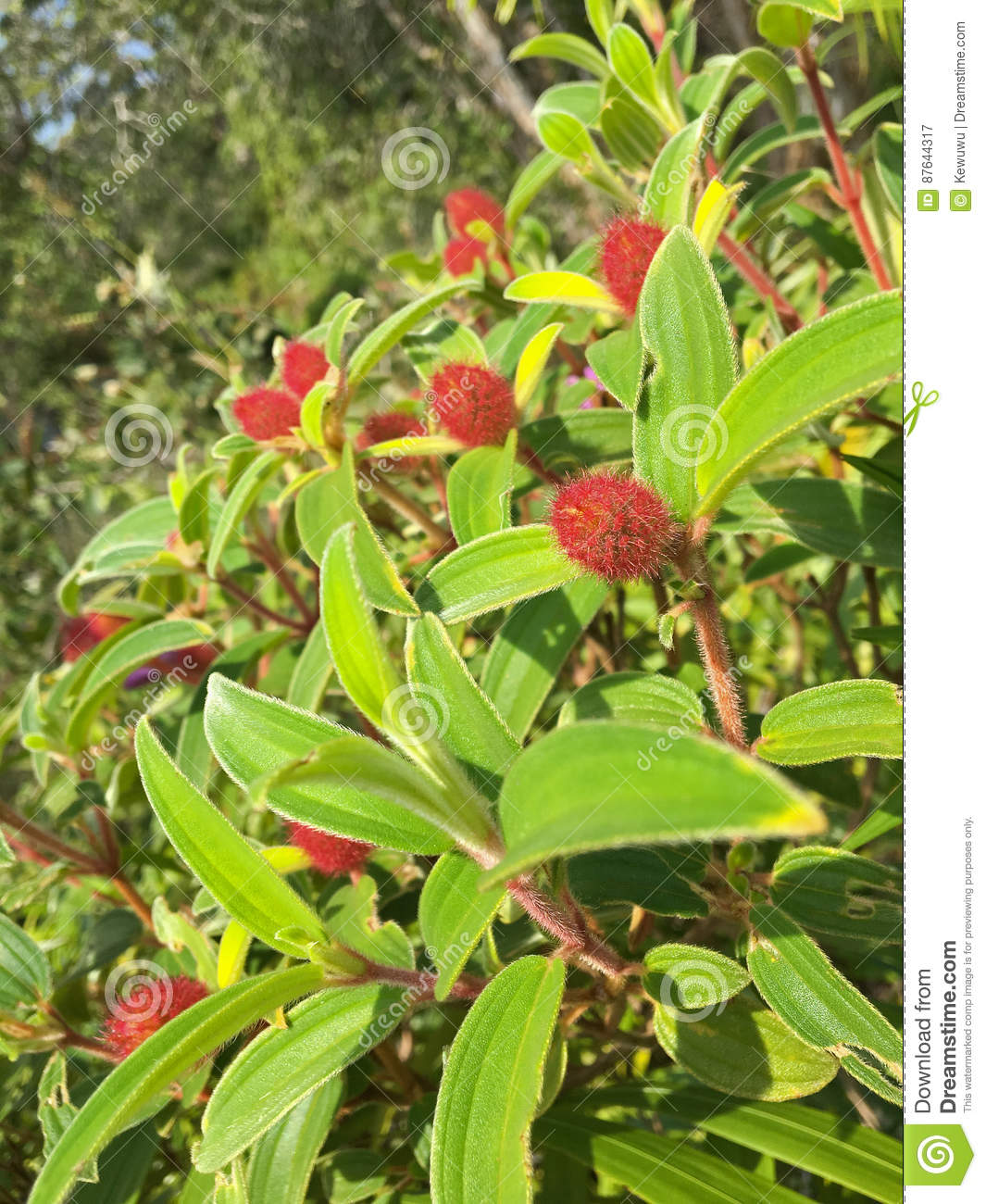 Incredible Red Furry Hairy Flower Buds Of Indian Rhododendron Malabar Interior Design Ideas Philsoteloinfo