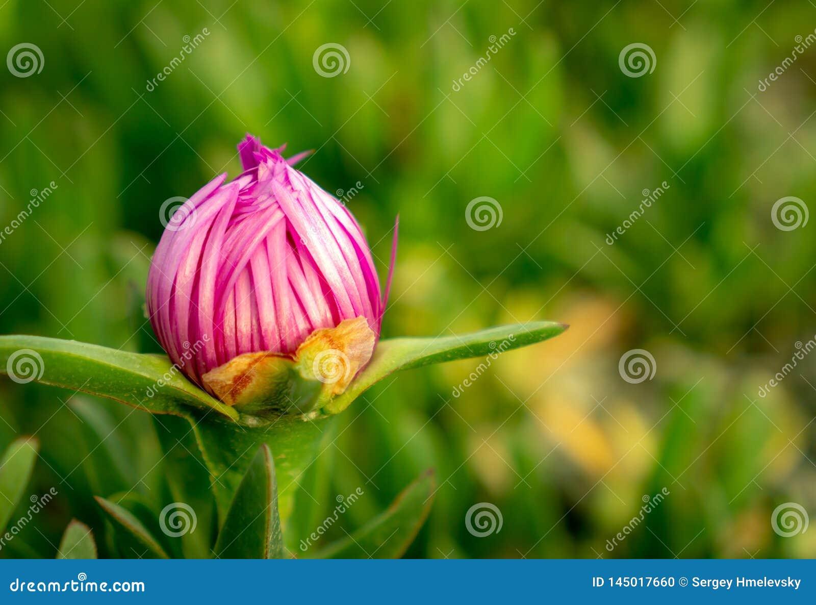 A red garden flower, Hottentot-fig