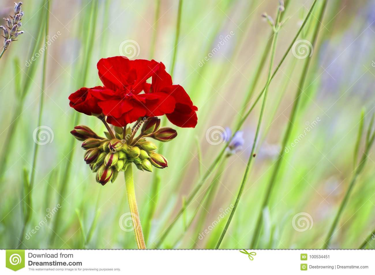 Red Geranium Bloom and buds