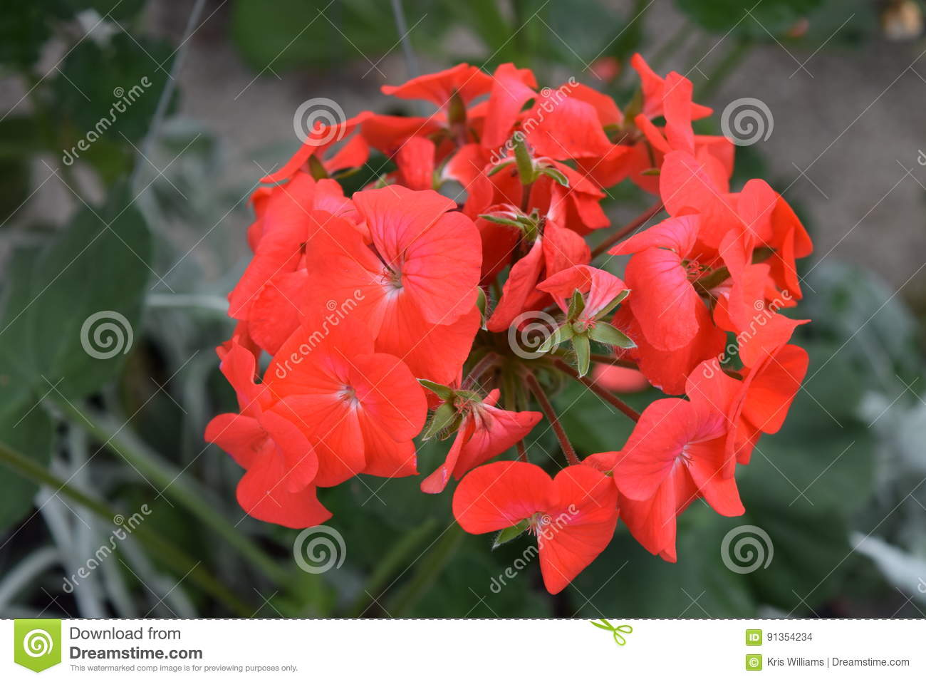 Red geranium bloom with several stemmed flowers