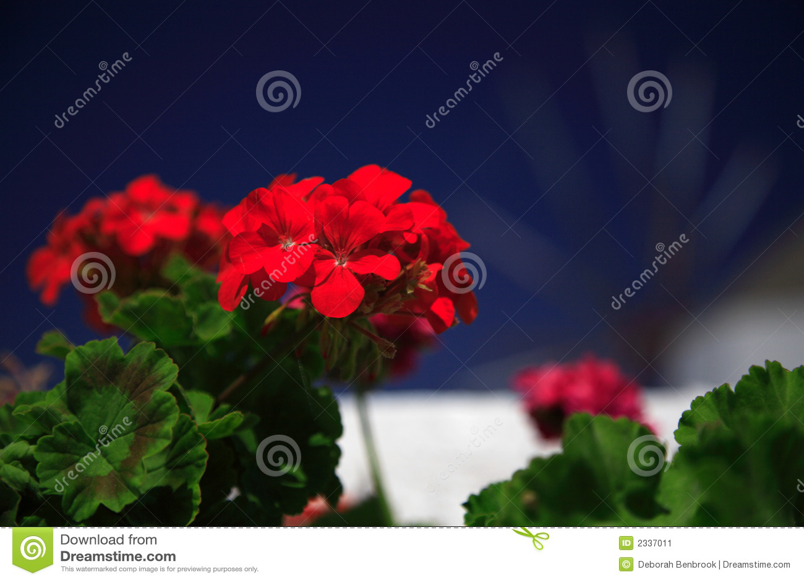 Red Geranium Close Up Stock Image - Image: 2337011