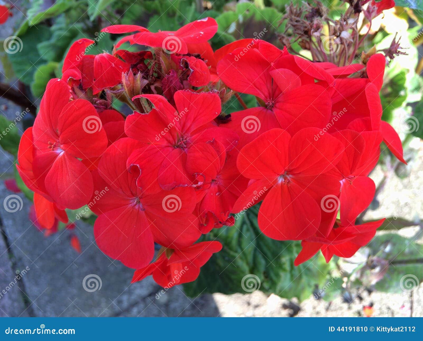 Red Geranium Stock Photo - Image: 44191810