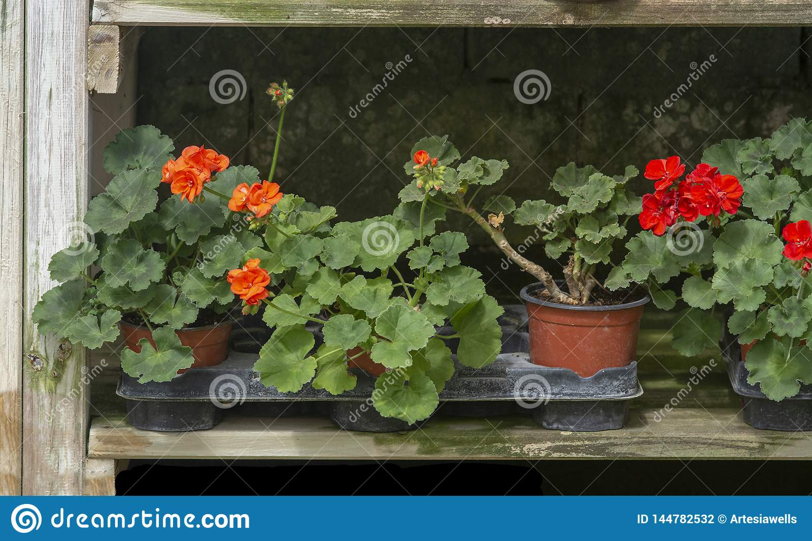 Red geranium flowers in pots