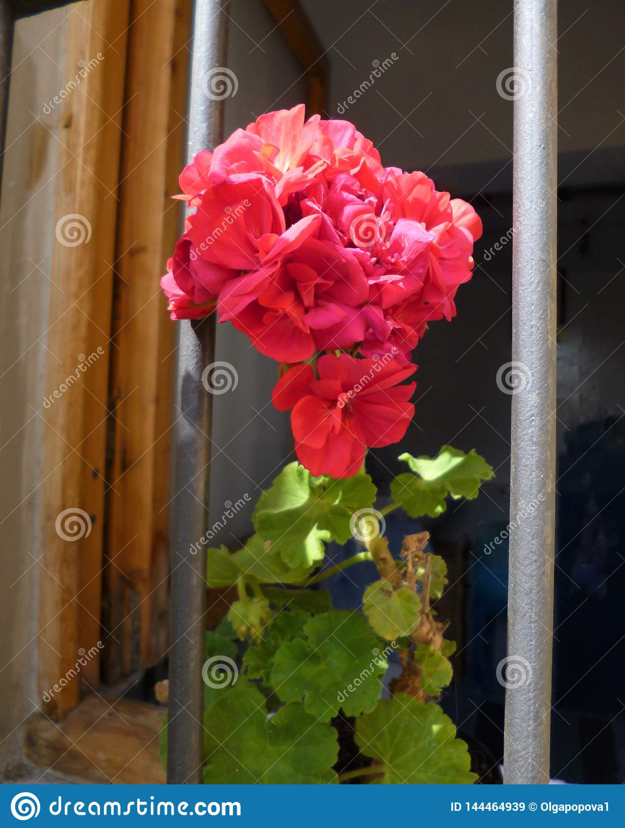 Beautiful red geranium flowers in the window. Close-up