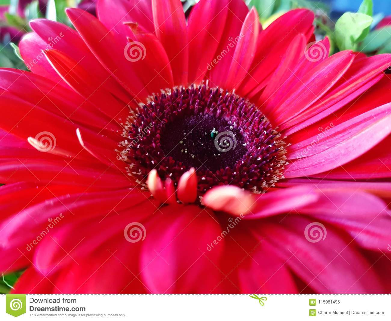 Red Gerbera Flower Closeup View Background Stock Image - Image of ...
