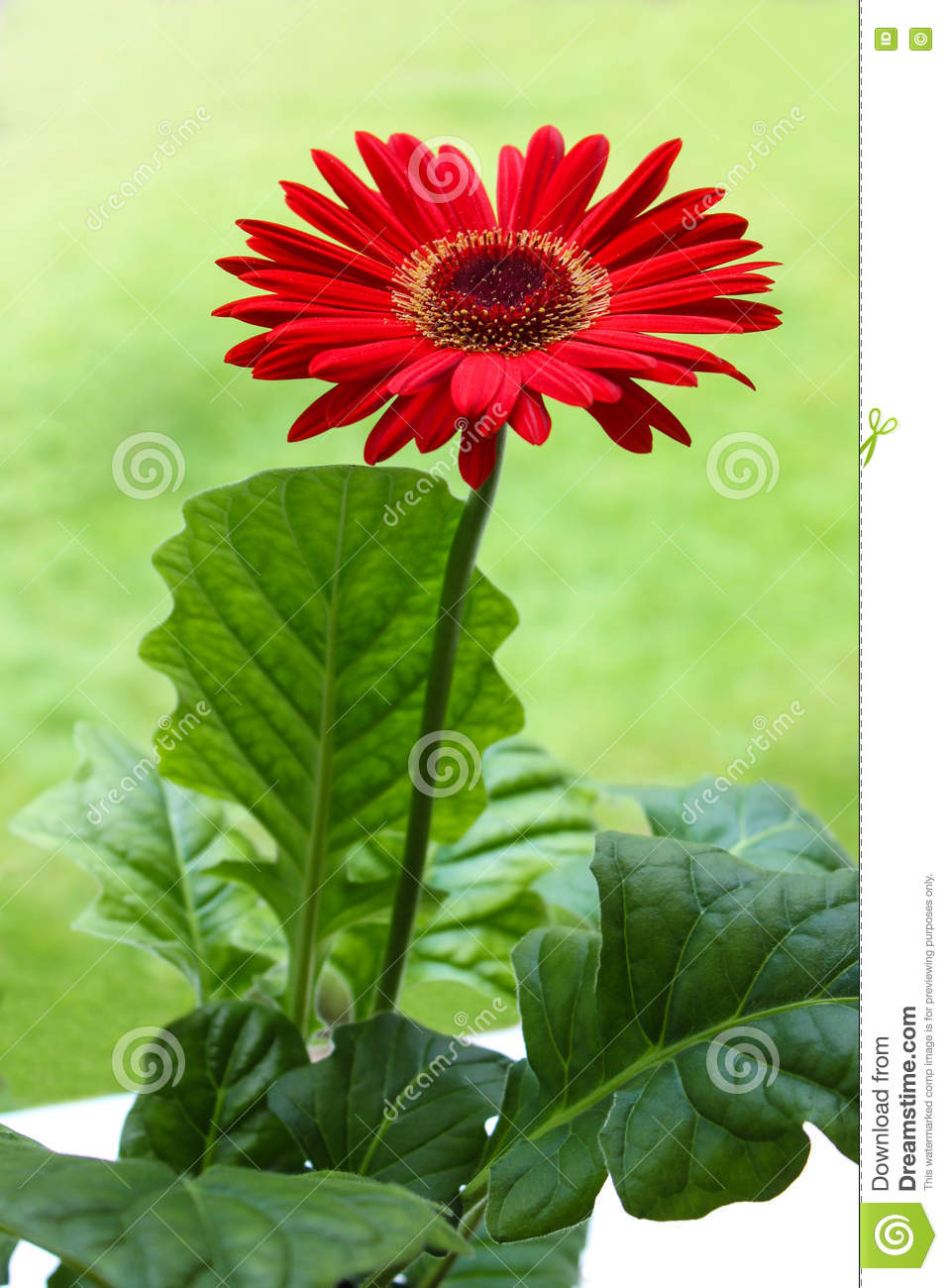 Red gerbera daisy flower stock image image of plant 72008185 download comp izmirmasajfo
