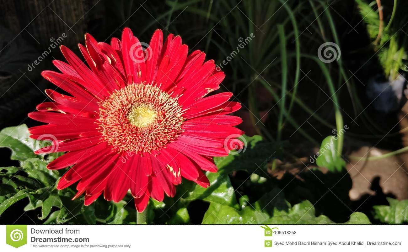 Red Gerbera Flower Stock Photo Image Of Bright Lush 109518258