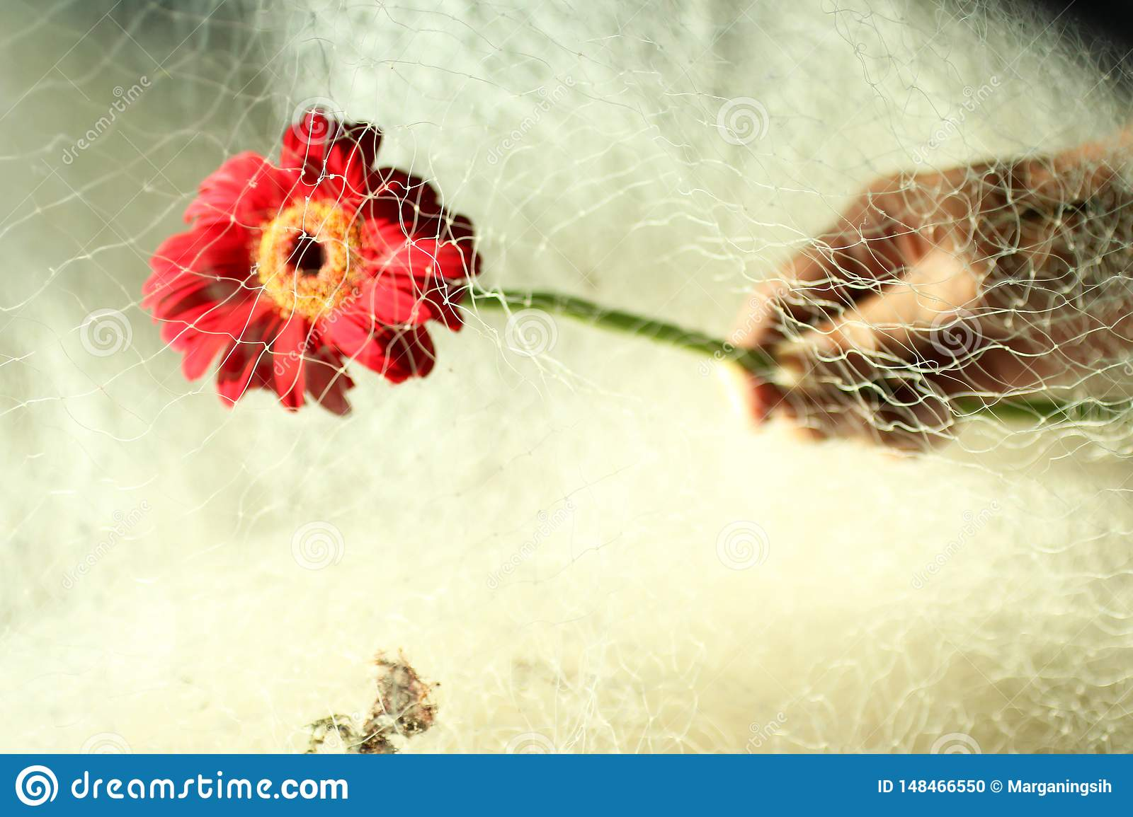 Red gerbera flower head in hand, cover with fishing net.