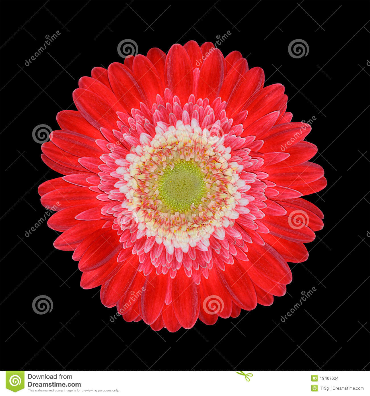 Perfect Red Gerbera Flower Head with White Center. Closeup Isolated on ...