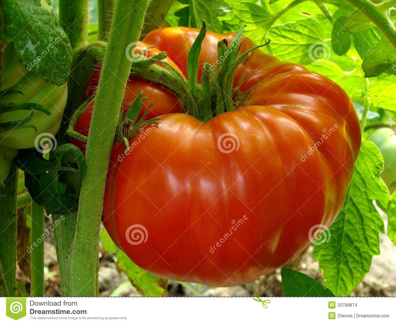 Red Giant Tomato Stock Images - Image: 20788874