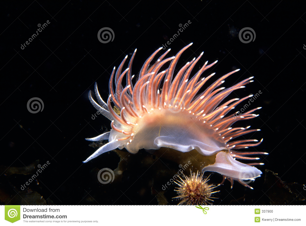 Red-gilled Nudibranch