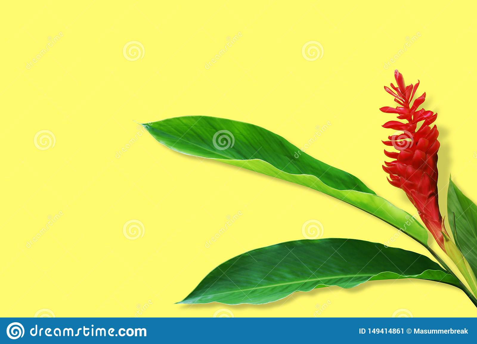 Red Ginger, Alpinia purpurata Flower with Fresh Green Leaves on Yellow Design Background