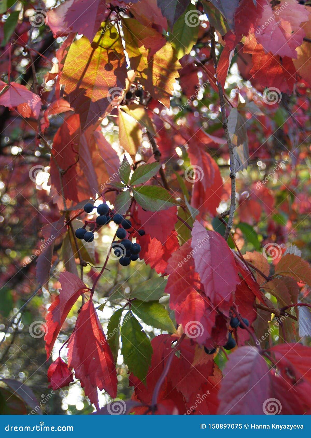Wild grapes autumn sunset