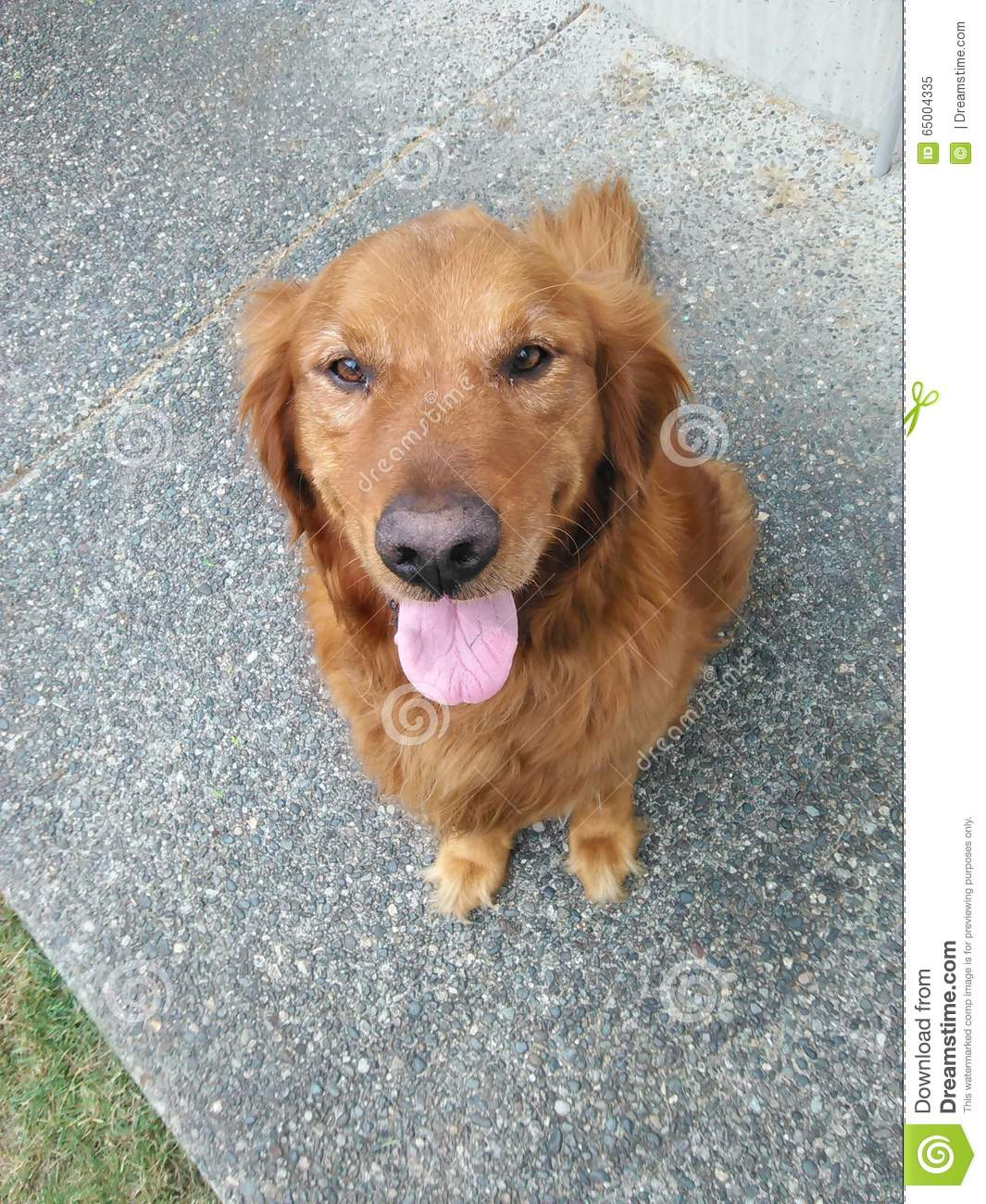 Red Golden Retriever Sitting Stock Image Image Of Golden