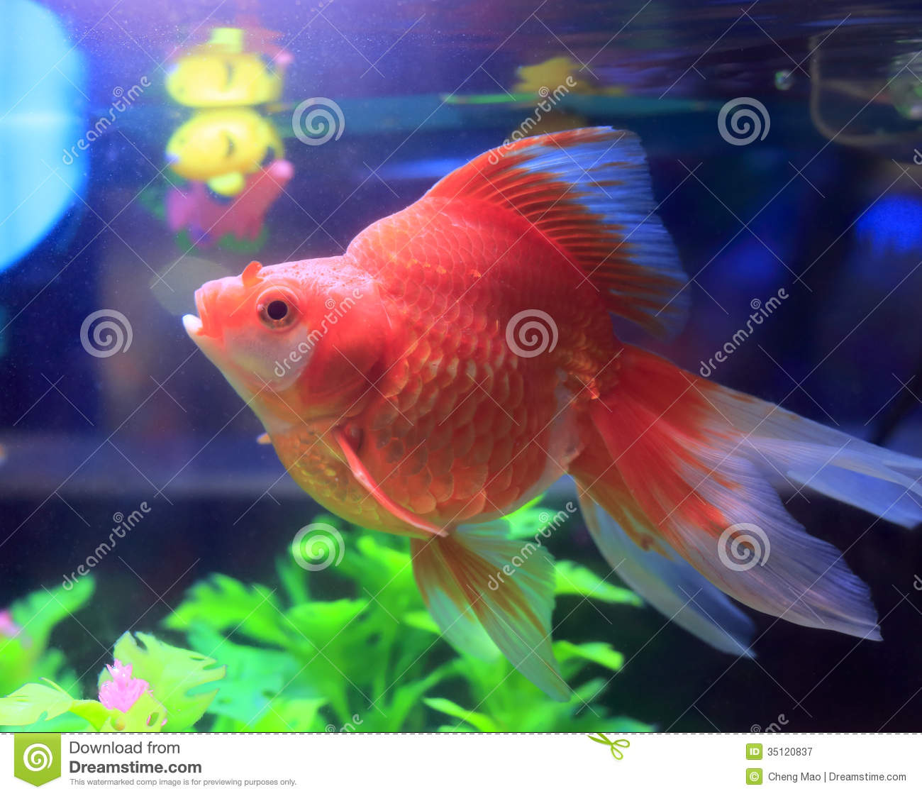 Fish in tank with goldfish - Red Goldfish In Aquarium