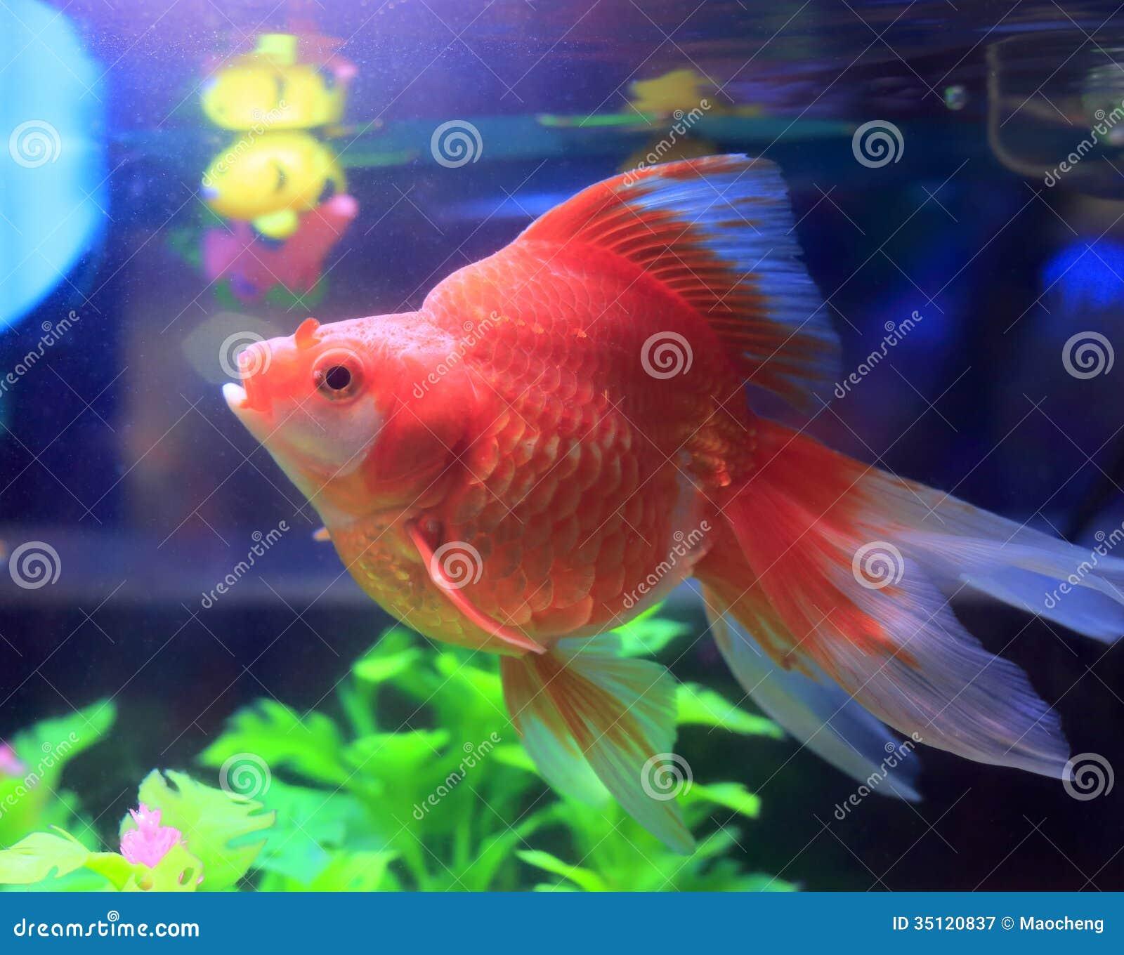 Red goldfish in aquarium royalty free stock photography for Aquarium goldfische