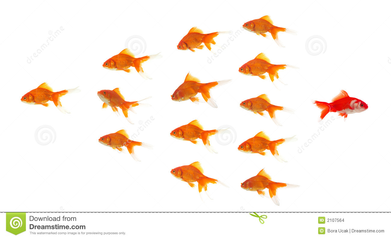 Red Goldfish Leaving Group Stock Images Image 2107564