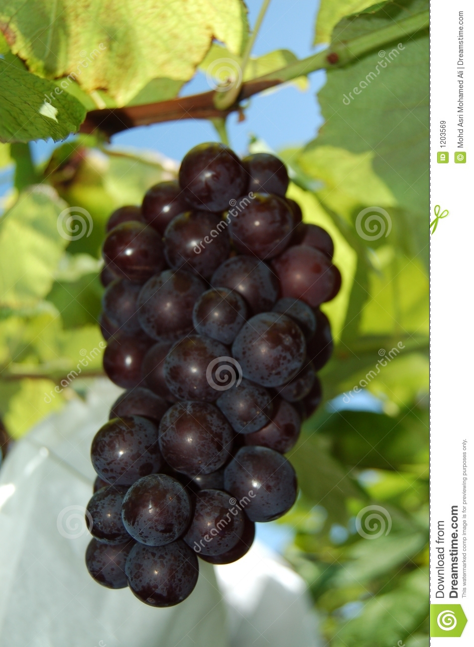 Red Grapes of Chiba