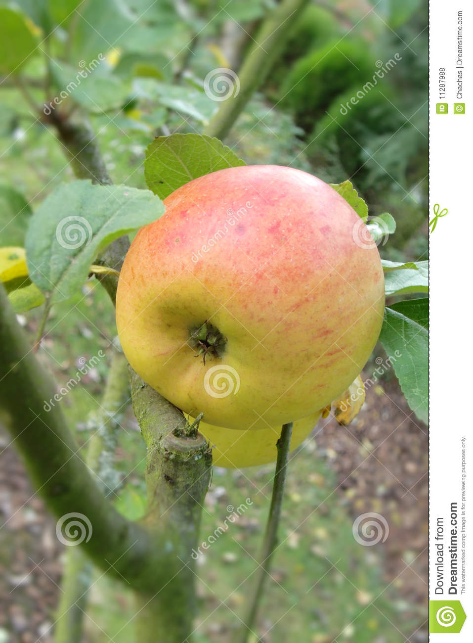 Red And Green Apple On Tree Royalty Free Stock Photos ...