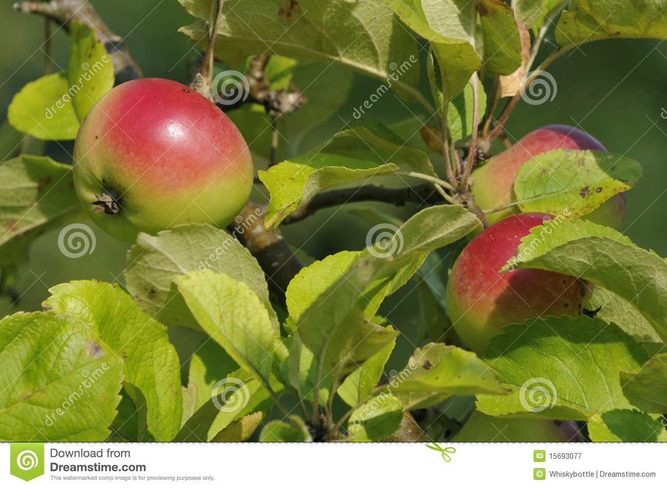 Red And Green Apples Royalty Free Stock Photography ...