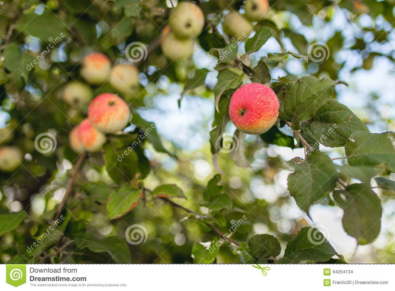 Red And Green Apples On Apple Tree Branch Stock Photo ...