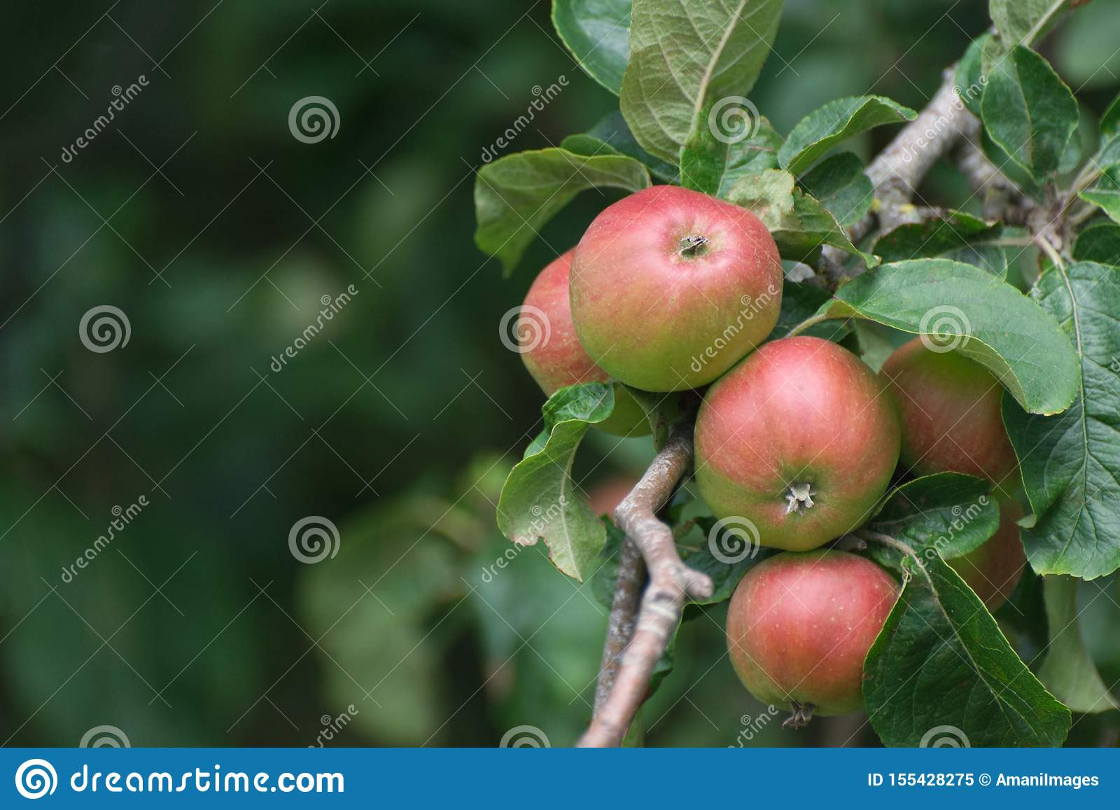 Red and green apples on an apple tree