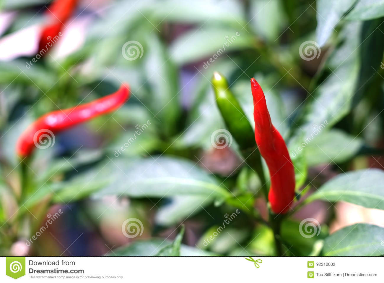 Red and green Bird`s eye chili grow in the garden