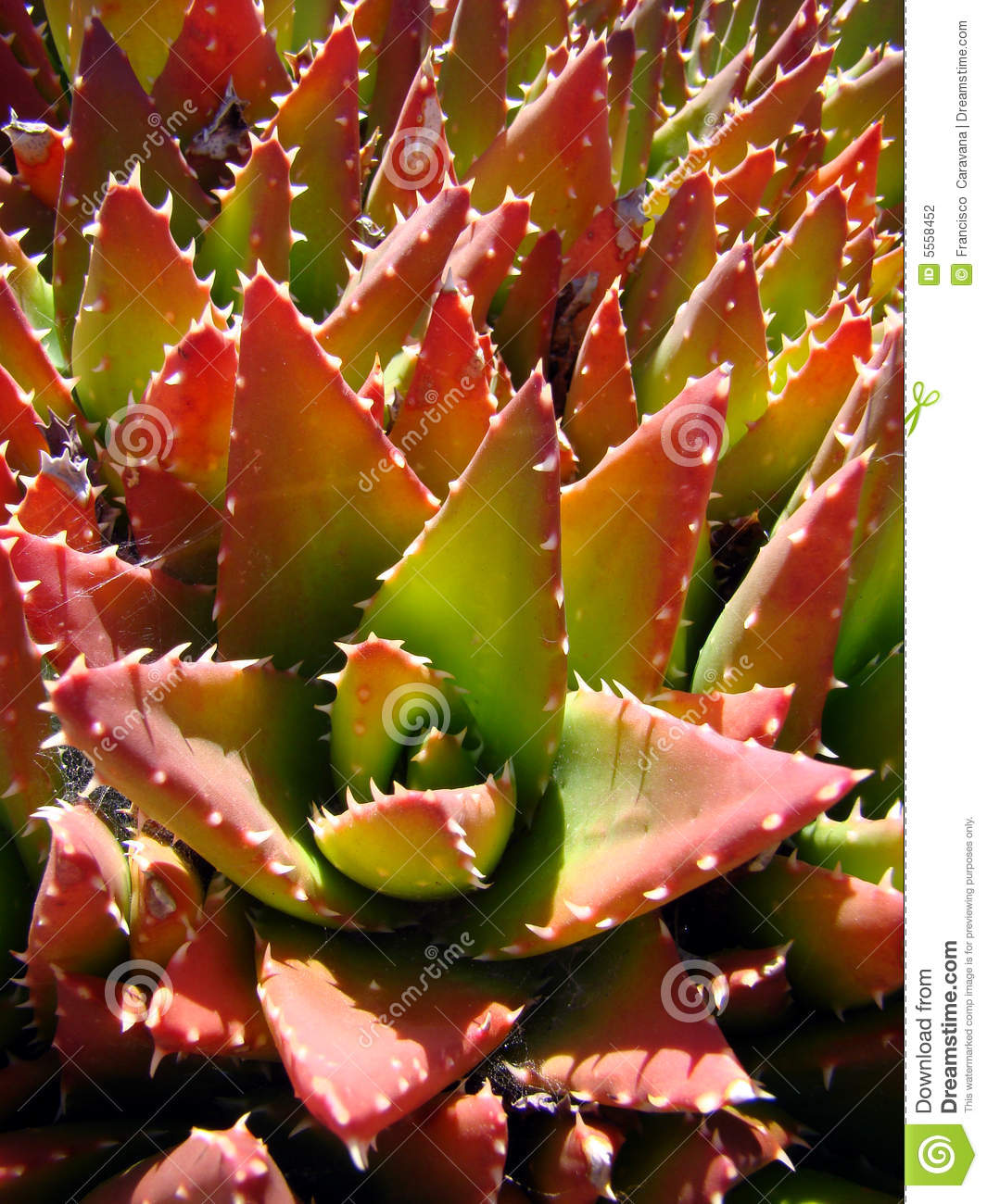 Red And Green Cactus Stock Photography - Image: 5558452