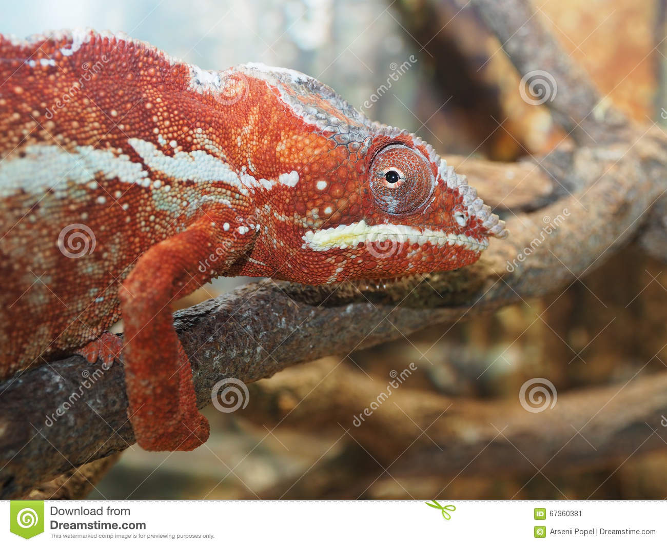 red green chameleon on a tree branch stock image  image
