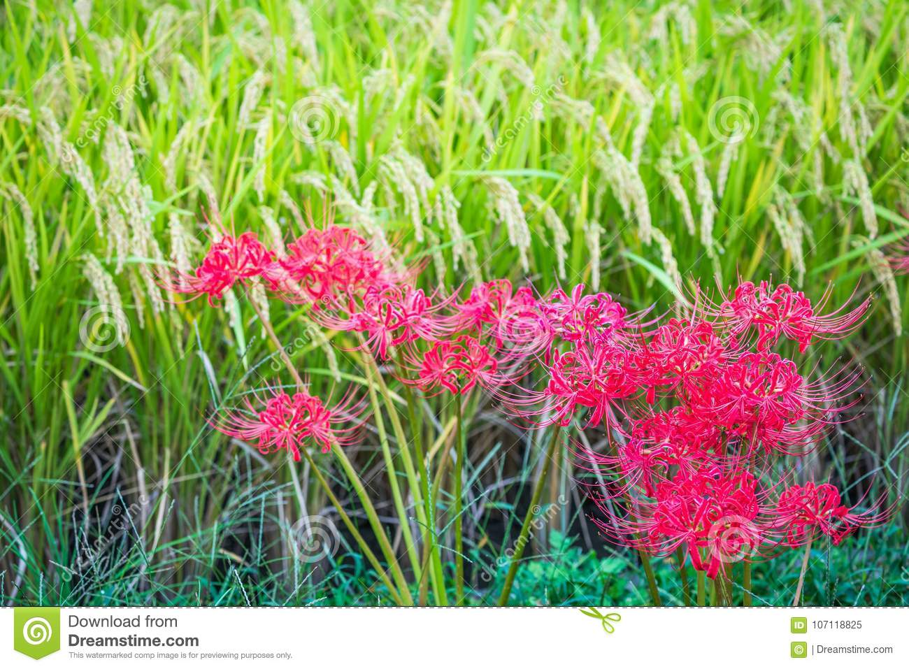 Red and green of japans rice harvest stock image image of red spider lilies commonly flower in september along rice fields of japan at harvest time these beautiful but poisonous equinox flowers deter pests and izmirmasajfo