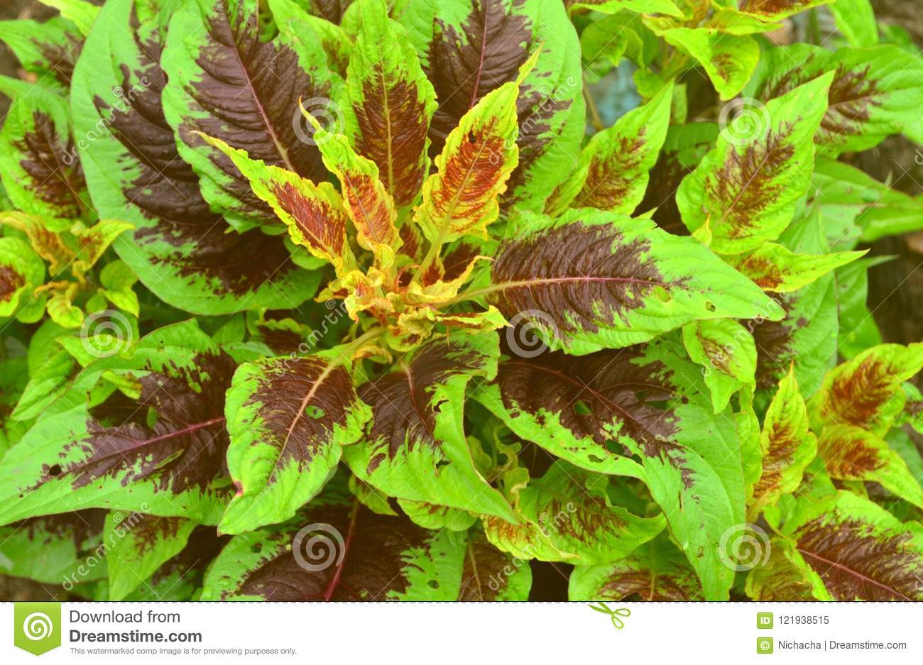 Red And Green Leaves Background Stock Image Image Of Foliage Leaves 121938515