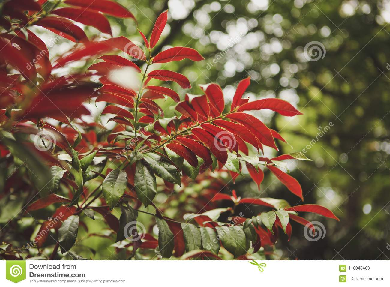 Red And Green Leaves Of Tropical Plants After Rain. The Sun`s Glare ...