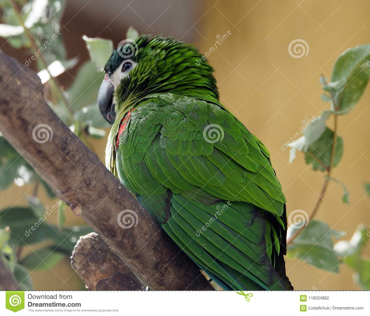 macaw or psittacidae species stock photo image of green parrot