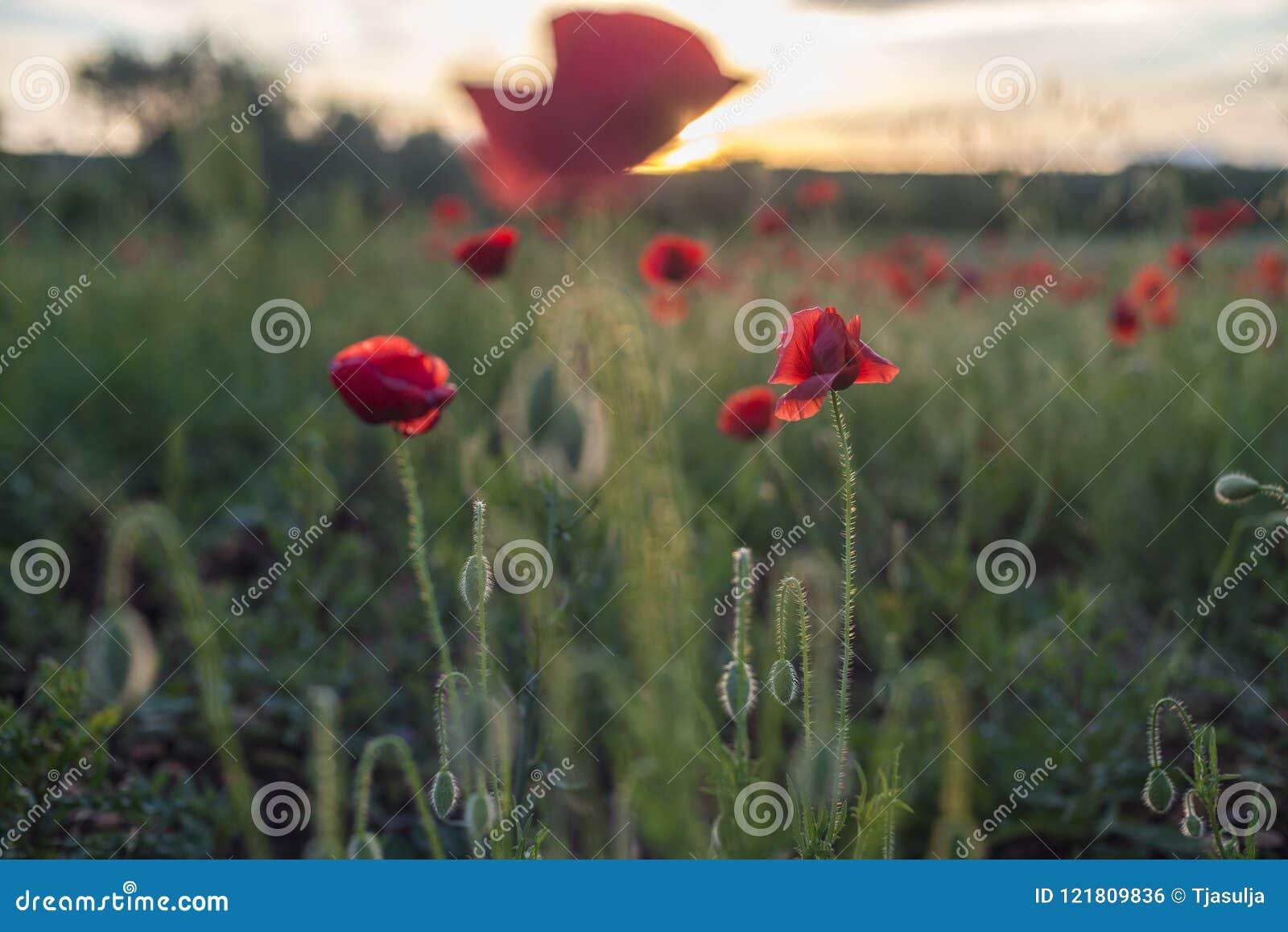 Red poppy flower in mediterranean environment stock photo image of download red poppy flower in mediterranean environment stock photo image of craft desktop mightylinksfo