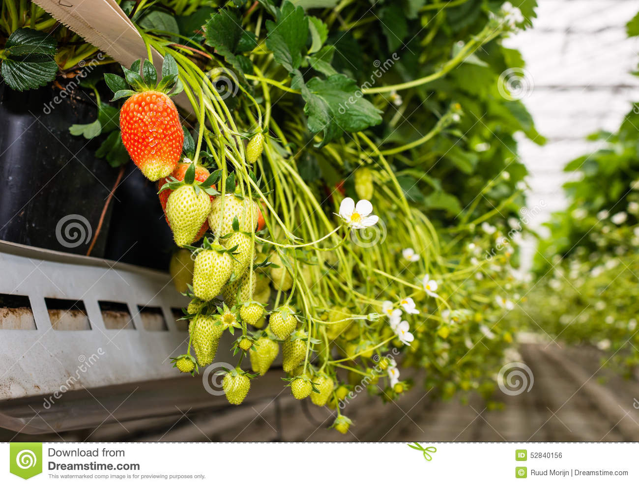 Red And Green Strawberries In A Modern Greenhouse From Close Stock Morin Strawberry Download Photo Image Of