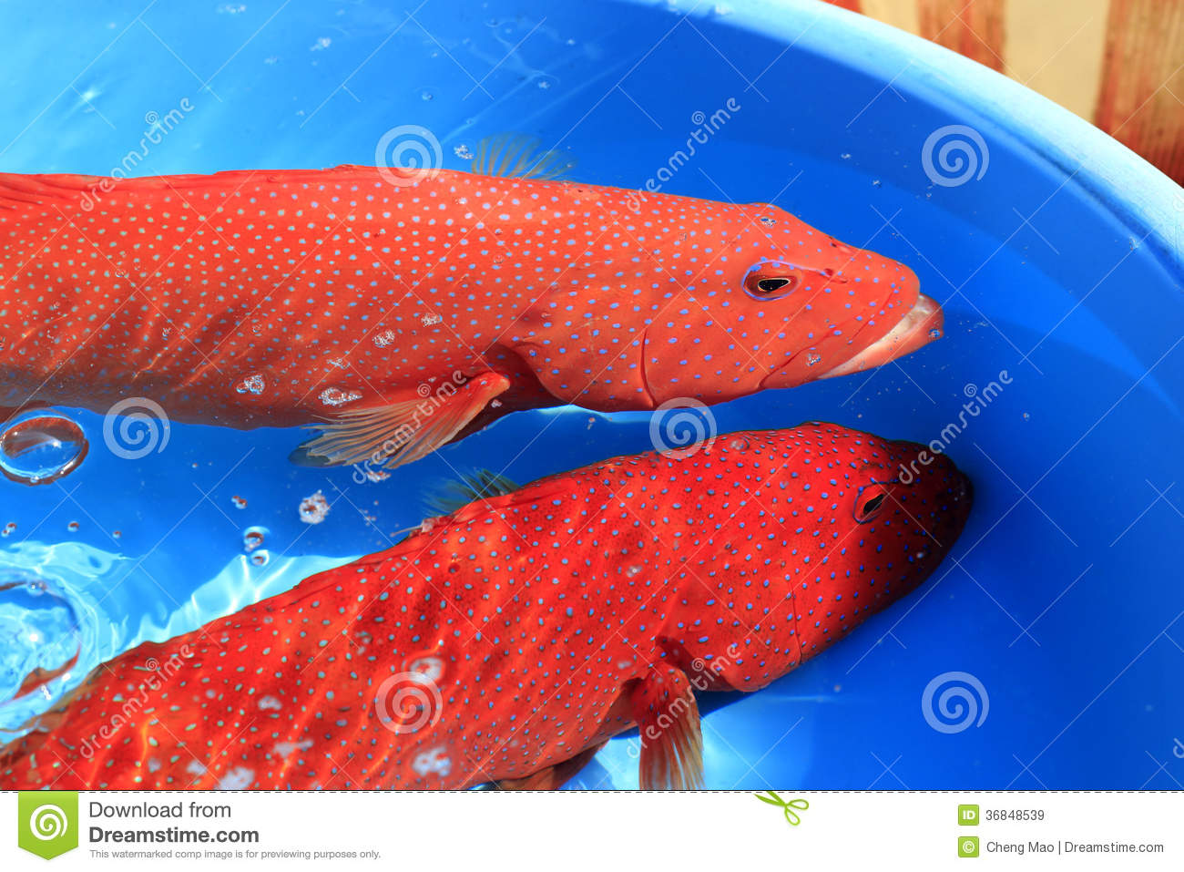 Red grouper in the water, in the market, amoy city, china.