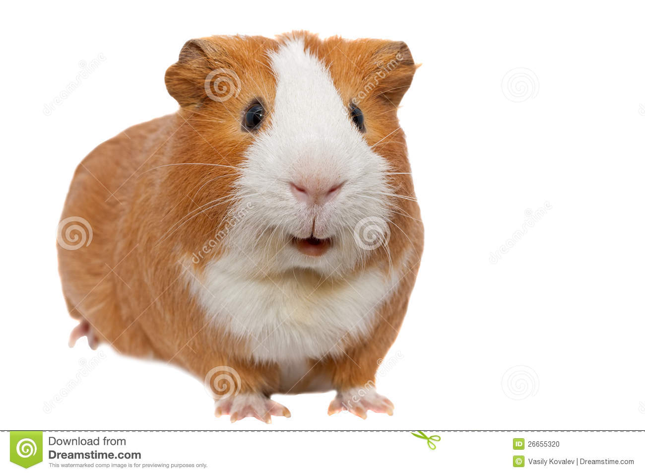 Red Guinea Pig Stock Photo Image 26655320