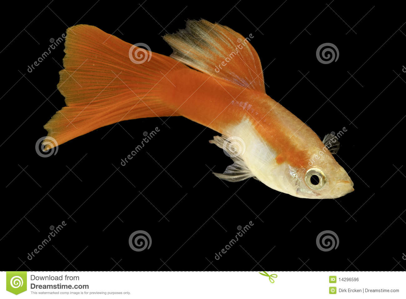 Red Guppy Isolated Tropical Aquarium Fish Stock Photo - Image of ...