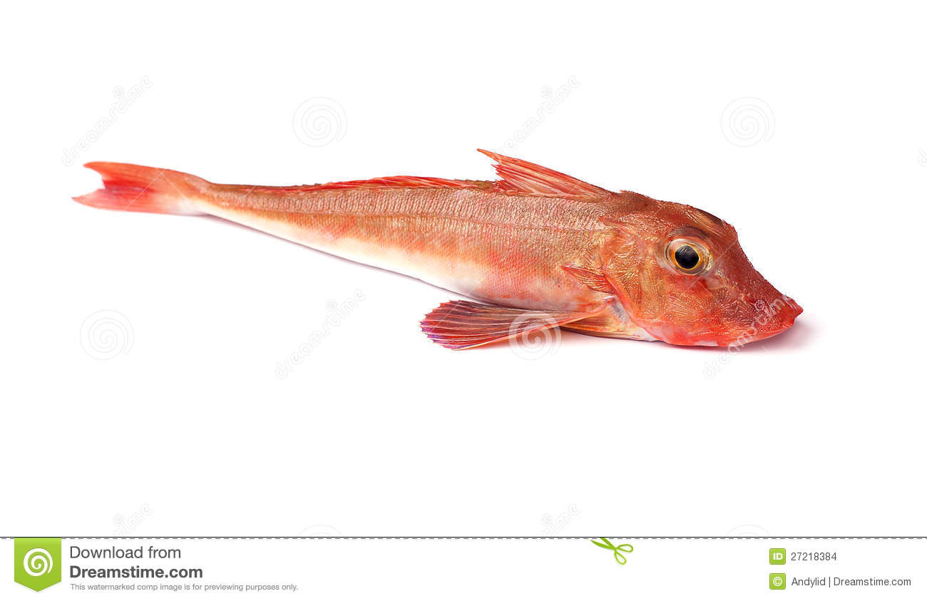Red Gurnard Fish (Chelidonichthys cuculus) on White Background.