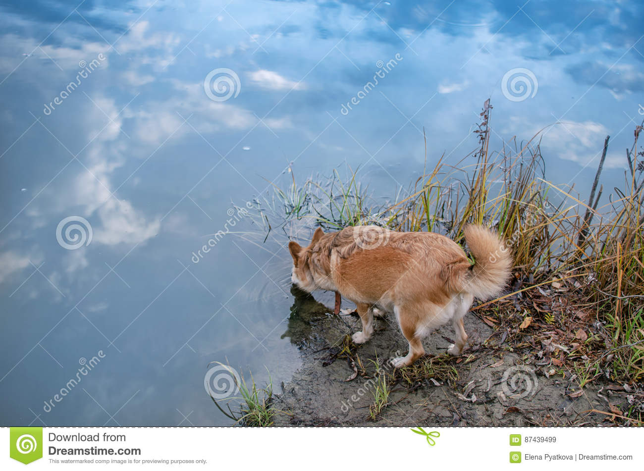 Red-haired dog drinking from the river