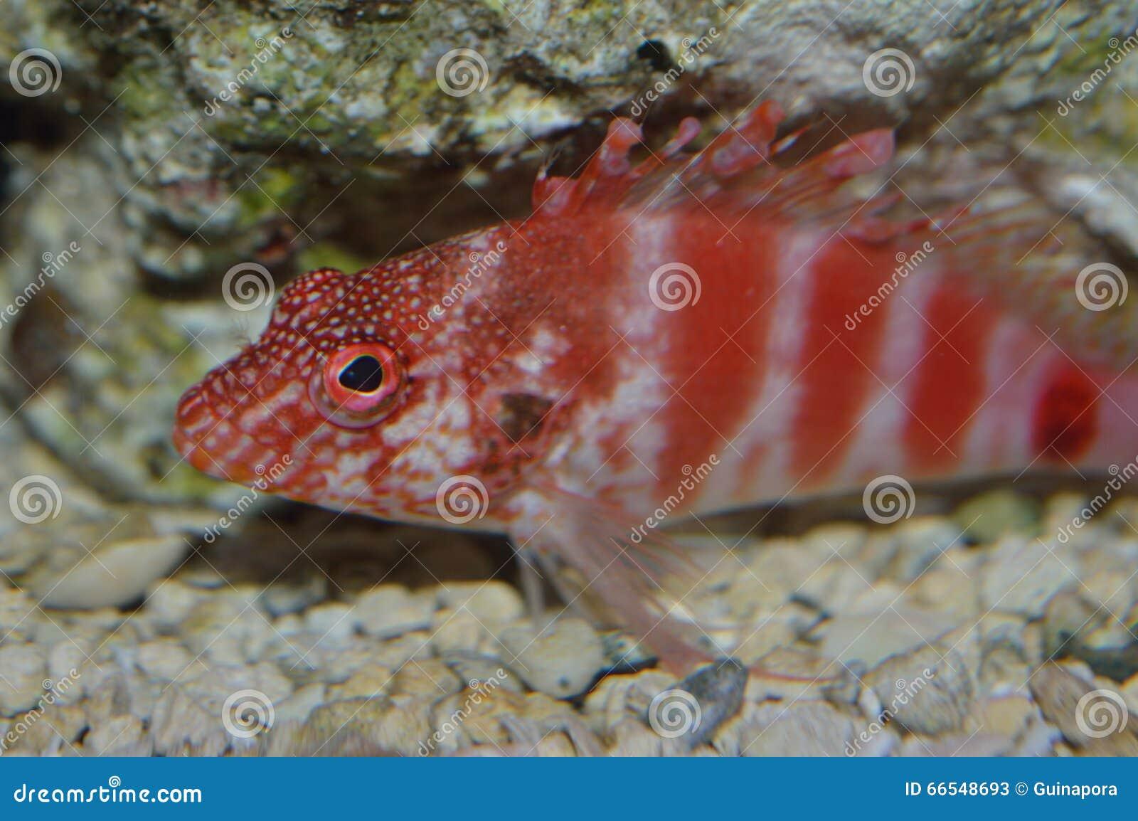 Red Hawaiian hawk fish