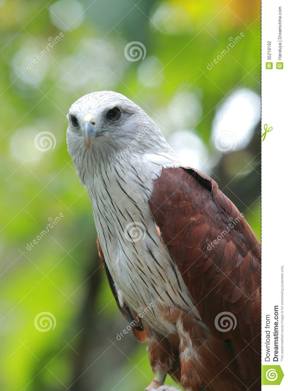 Red Hawk stock photo  Image of hawk, red, claws, carnivore - 35218192