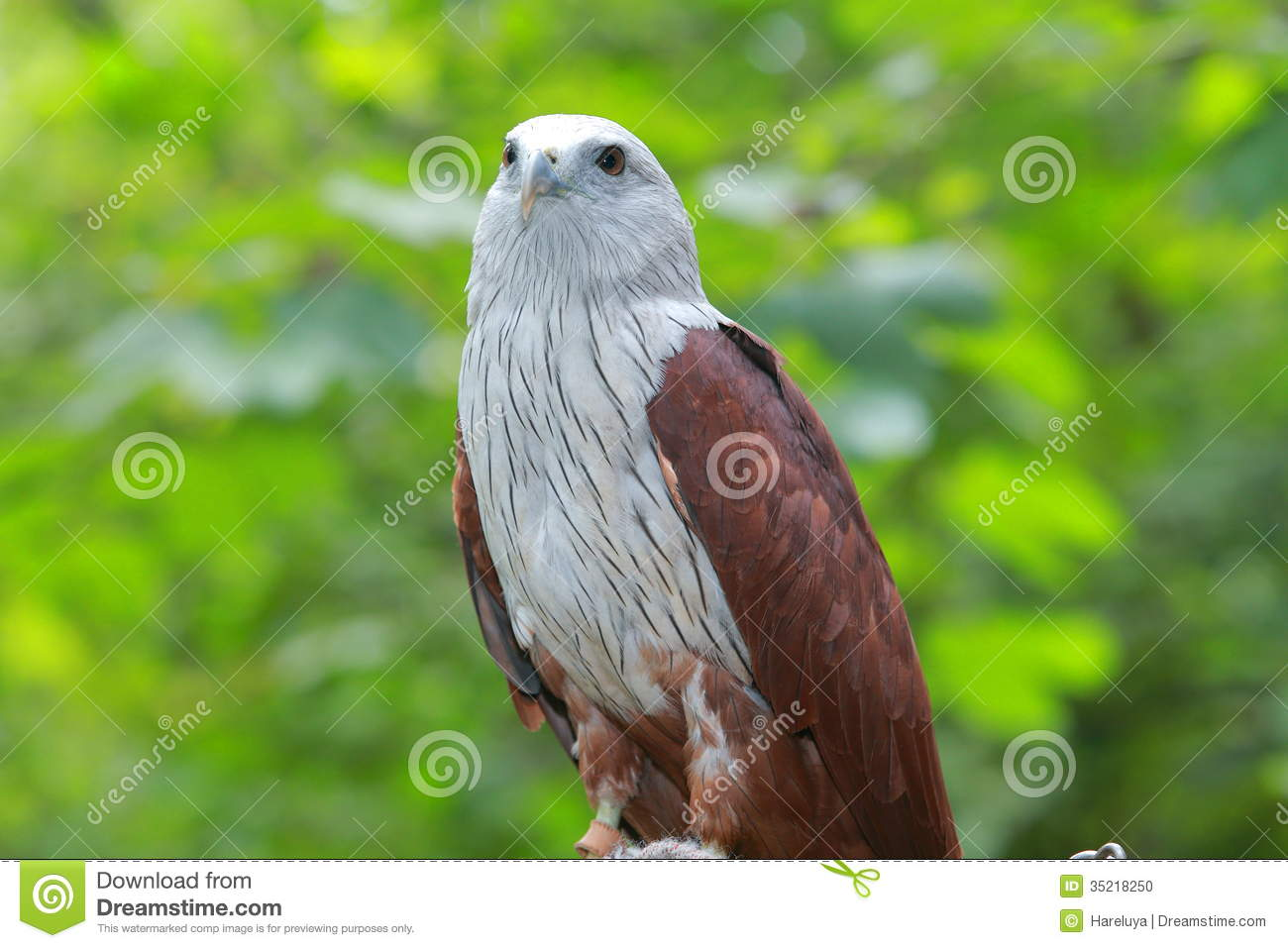 Red Hawk A medium-sized bird of prey in the family Accipitridae can be ...