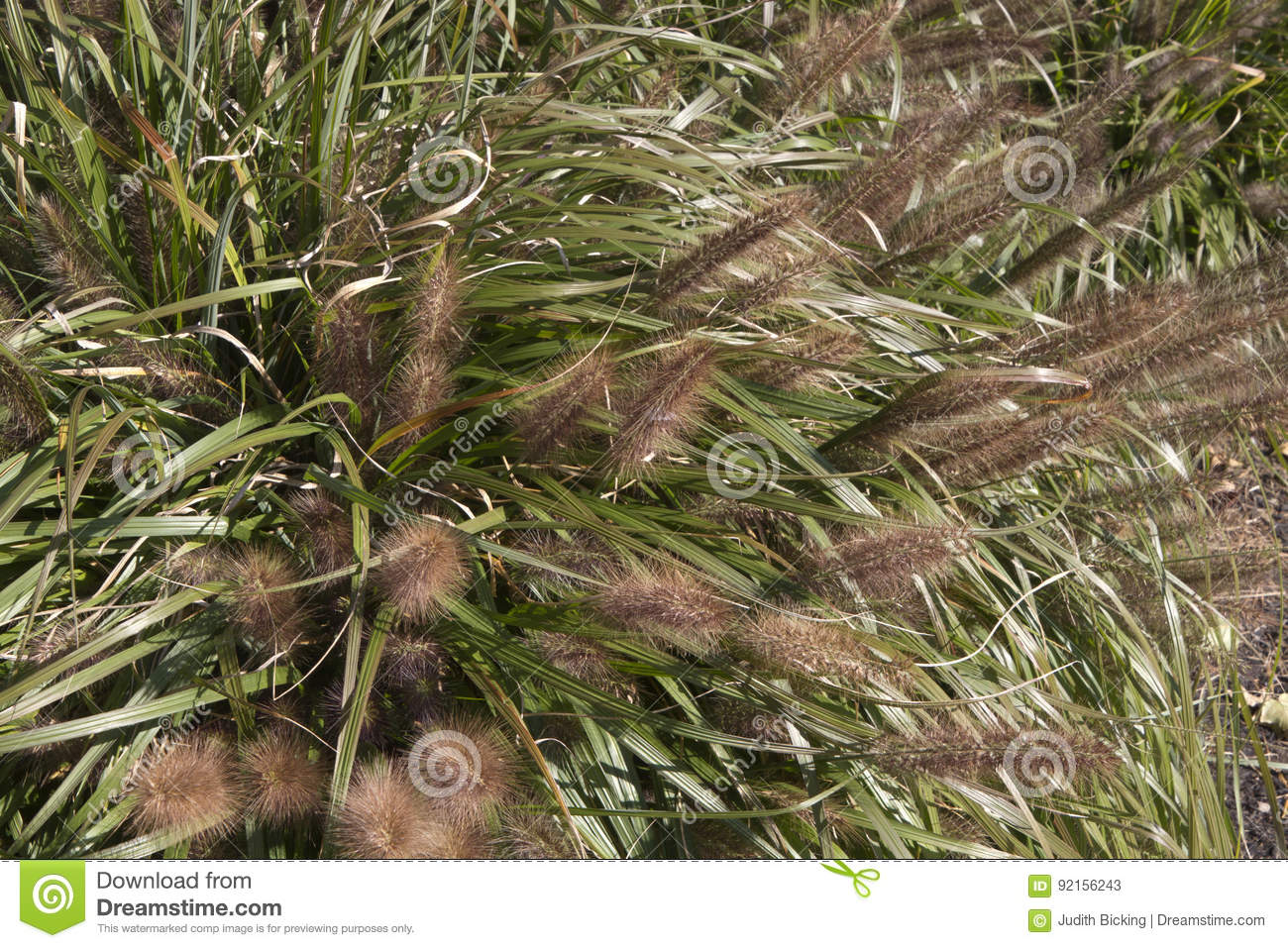 red head ornamental grass stock photo  image, Natural flower
