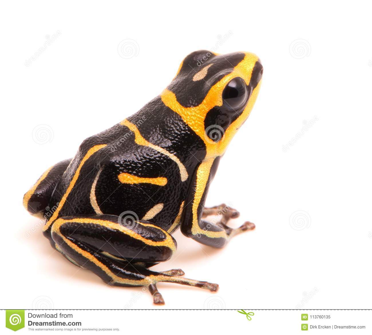 Red headed poison dart or arrow frog on white background