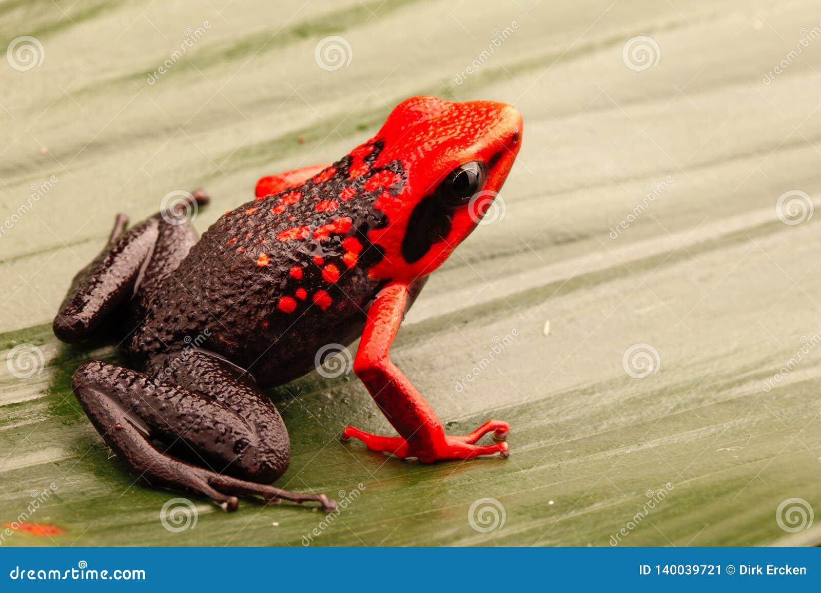 Red headed poison dart frog, Ameerega silverstonei