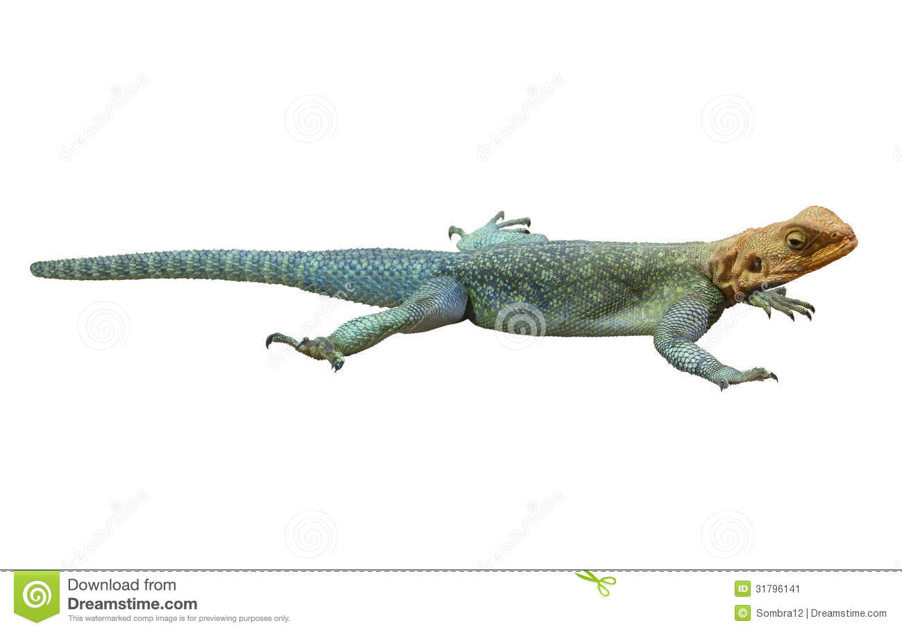 Red-headed Rotsagama