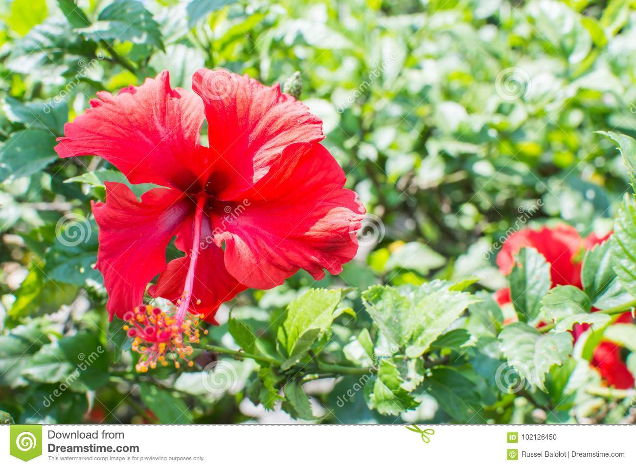 Red Hibiscus Flower Stock Photo Image Of Leaves Hibiscus 102126450