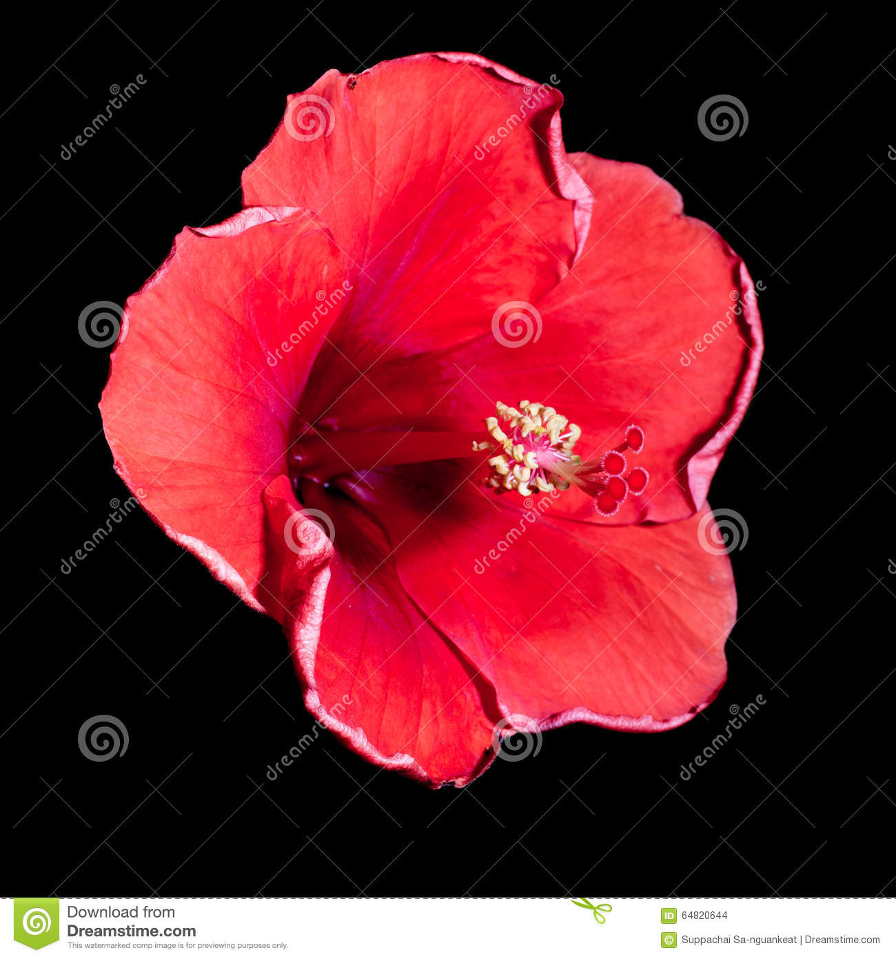 Red hibiscus flower on a black background stock photo image of download red hibiscus flower on a black background stock photo image of floral tropical izmirmasajfo